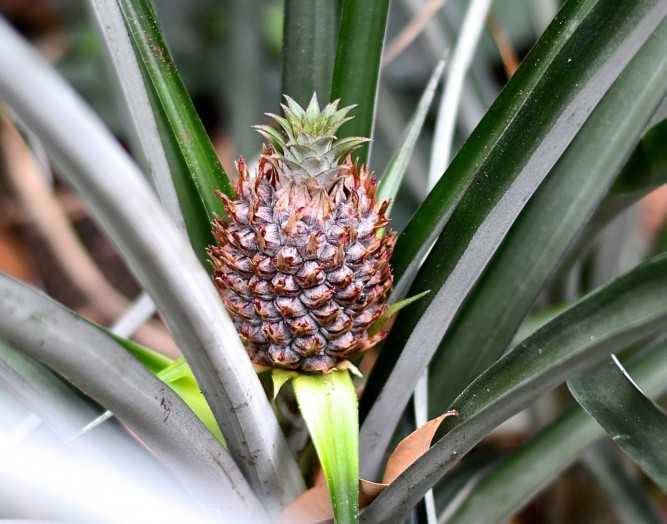 ananas / pineapple plant --- www.catherinecuisine.com