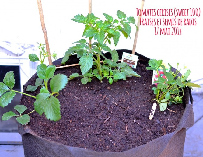 tomate cerise fraise radis mai 2014